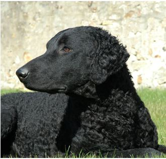 curly-coated-retrievers