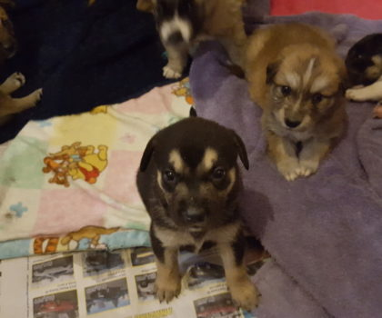 Asiatic puppies! New Litter, ready on June 4th