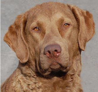 Retriever Rescue Of Colorado Adopt A Dog Retriever Breed Type