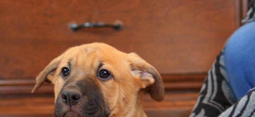 Pelmeni – Sex: M Age: Puppy
